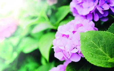 Hydrangeas for high summer impact