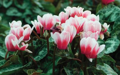 Plant cyclamen for a sprinkling of autumn colour